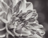 Black and White Print,Dahlia Flower Print,Photography Print,UNFRAMED,4x6,5x7,Bathroom Art,8x10,Flat Card,Nature Photography,Wall Art,Decor,
