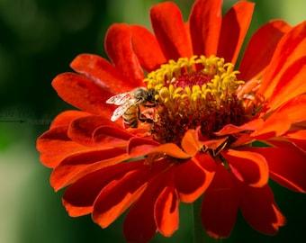 Orange Zinnia Flower Print,Zinnia Photography,UNFRAMED,Flower and Bee Photography,Zinnia Photo,Bee Photo,4x6,5x7,8x10,Nature Photography Art