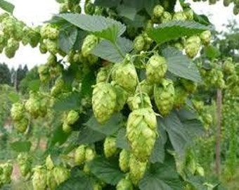 2015 Whole Cone Cascade Hops