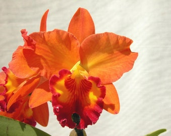 Orchids - Three different varieties - Three different color combinations