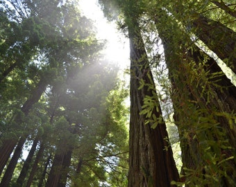 Midday Beneath the Redwood Trees in the Muir Woods