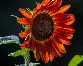 Red Sunflower in Bloom