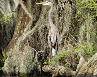 Great Blue Heron on Canvas