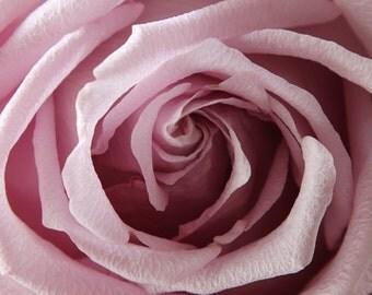Rose Photograph, Pink Rose Photo, Photograph of Pink Rose, Rose Macro