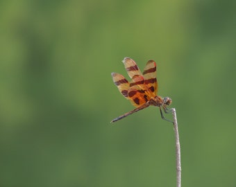 Dragonfly photography