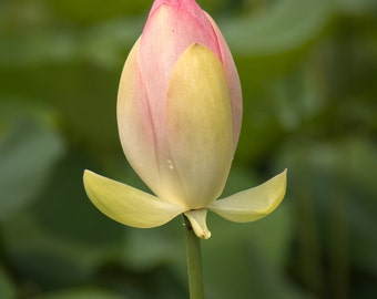 Lotus Bud