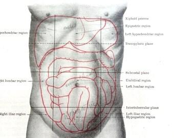 Anatomical Print - Intestines