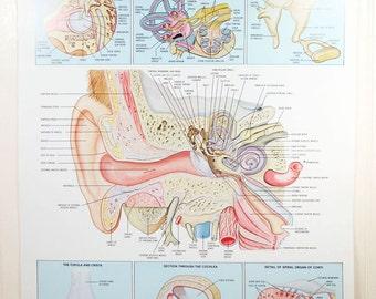 "Vintage Human Anatomy Poster Ear Organs 20"" x 26"" Hearing Color Illustration Anatomical Chart Co."