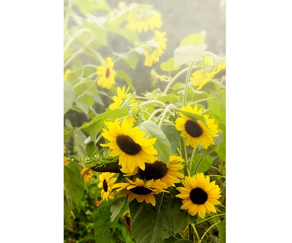 Garden Sunflower Wall Decor : Items similar to sunflower print garden decor flora art
