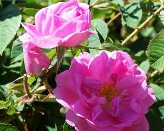Organic Damask Rose Hydrosol Rosewater