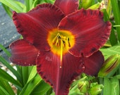Daylily Seedling (S-14 Aquire The Fire x Marys Baby)