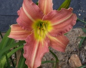 Daylily Seedling (S-85 Little Business x Janice Brown)