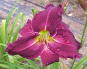 Daylily Plant (Butterflies In The Breeze,  Rogers 2013)