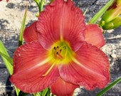 Daylily Plant (Roger, Rogers  Rogers 2014)
