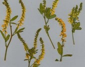 Pressed Sweet Clover Wild Flowers - 12 each dyed yellow