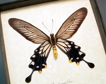 Atrophaneura Coon Verso Stunning Long Slender Swallowtail Butterfly 266V