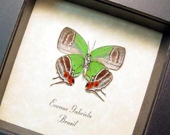 Evenus Gabriela Verso Real Framed Gabriela Hairstreak Butterfly 8298