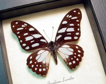Graphium Leonidas Real Framed The Veined Swordtail Butterfly 8350A