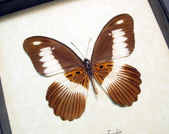 Papilio Zenobia Verso Real Framed Rare Volta Swallowtail Butterfly 8354