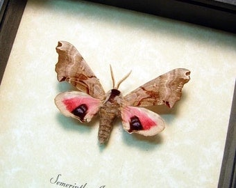Smerinthus Jamaicensis Real Framed North America The One-eyed Sphinx 8346
