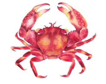 Red Crab watercolor Art Print of an Original Watercolour Illustration Hamptons Style Artwork Nautical Art