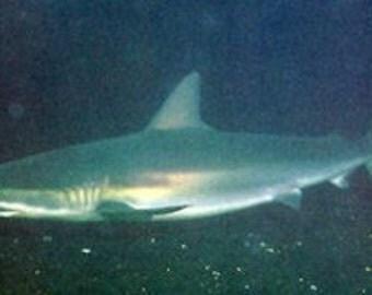 Dusky Shark tooth on Leather necklace
