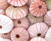 "10 Pink Sea Urchins (1.75"" - 2"") *Top Quality* Light to Dark Pink - Seashell/Nautical/Beach Decor/Beach Wedding Decor"