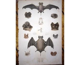 1830 ANTIQUE BAT ENGRAVING print vampire original antique halloween engraving