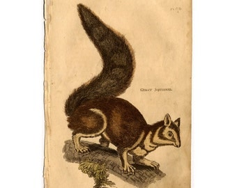 1801 SQUIRREL antique print engraving the great squirrel