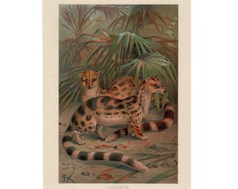 1894 LINSANG original antique animal print