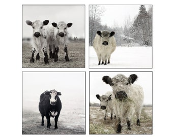 Black and White Photography Set of White and Black Cows in the Snow Set of Four Photographs