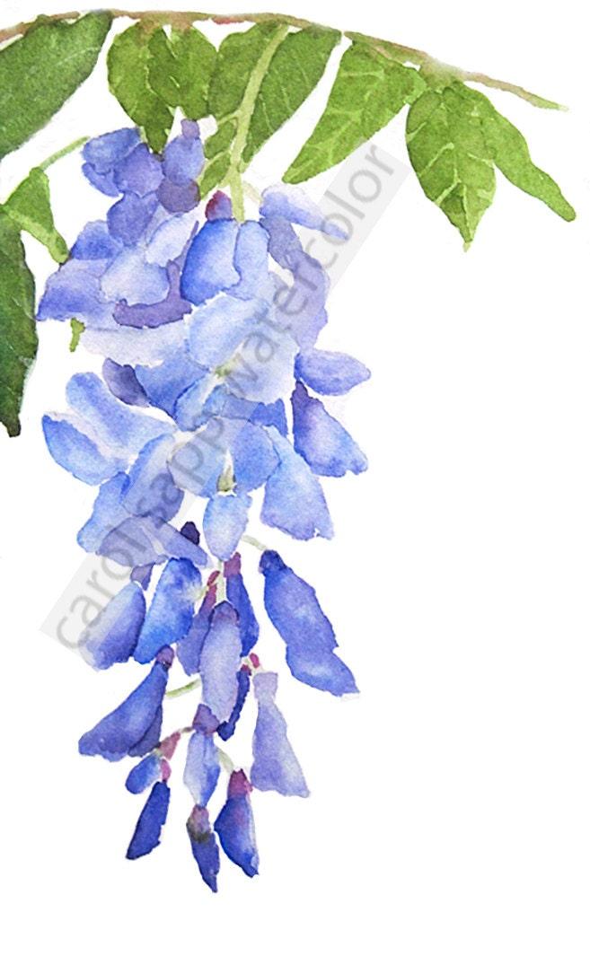 Wisteria watercolor wisteria painting wisteria art fine art for Glicine disegno