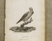 Antique Book Plate , 19th Century , Longman , Bird , Exotic Bird , Nifser Werk , Vulture , Vulturine , Antique Engraving , Book Plate