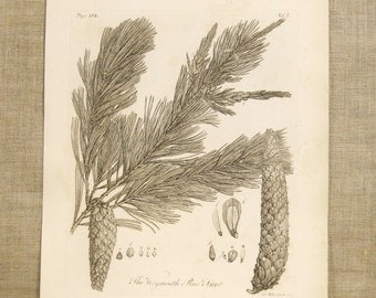 Antique Book Plate , Engraving , Weymouth Pine Tree , Miller , Botanical , Trees , Pine Cones , 19th Century , Conifer , Antique Prints