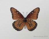 Real Butterfly Specimen Unmounted Ready Spread, Queen Butterfly