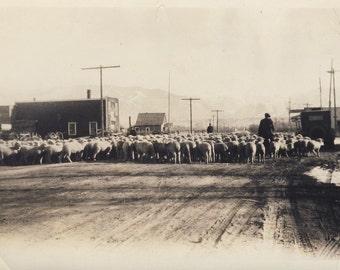 Flock of SHEEP Walking Down MAIN STREET Photo Circa 1920s