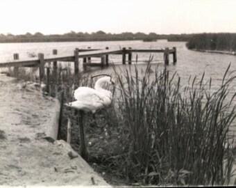 Vintage Photo, Swan, Long Pond, Madaket, Nantucket Island MA, Black & White Photo, Minox Photo, Old Photo, Vernacular Photo