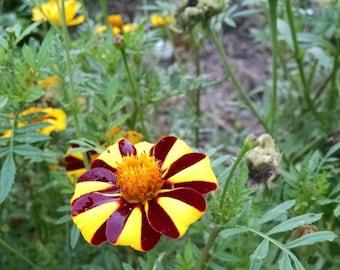 25 Striped Marigold Seeds