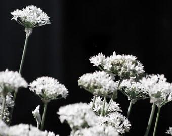 FLOWER White and Black Original Photography Print GARDEN Art NATURE Photo Liz Thomas