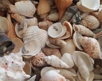 Bulk Natural Seashell Mix- 1lb pound of Nature's Own Sea Shells Loose for Weddings, Crafting, DIY Decorating/ SHIPS FREE