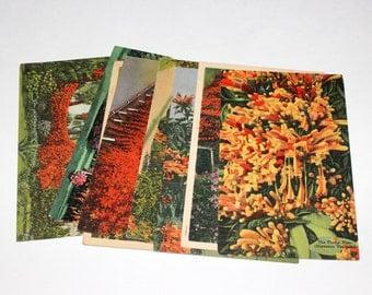 8 Vintage Florida Flame Vine Postcards Used