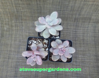 Graptopetalum amethystinum (Lavender Pebbles) Rare native of Mexico