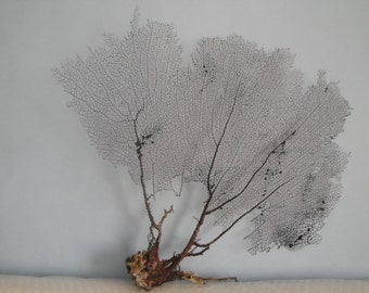 "16.5"" x 15.5"" Natural Black Color Caribbean Sea Fan Reef Coral"