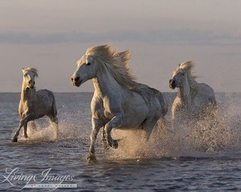Camargue Horses Sunset Run - Fine Art Horse Photograph - Horse - Camargue - Fine Art Print