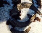 Jacob sheep 4 horn ram horns 1 set of 4 #6