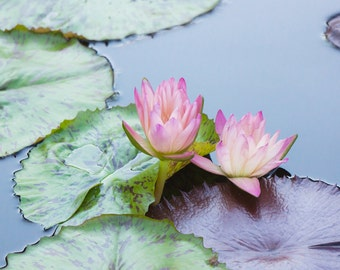 Waterlily Photography, Waterlily Print, Floral Wall Decor, Fine Art Photography, Large Photography, Botanical Art, Pink Flower Photo
