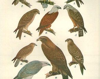 Birds 1931 Australian Book Print natural science plate XXXI, bird prints