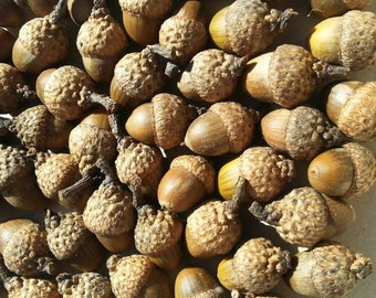 Small Acorns 2 - Qty 50