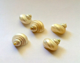 Silver Turbo Small Polished Shell around 1in Set of 5