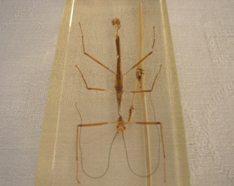 vintage entomology study-large stick insect preserved in acrylic block-Taxidermy,paper weights